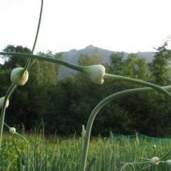 fiori aglio ersa s.daniele 034